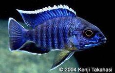Scientific Name: Aulonocara masoni Common Name(s): Mason's Peacock