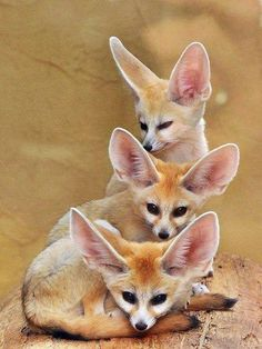 The Fennec fox (Vulpes zerda) is a small nocturnal fox found in the Sahara of North Africa. The fennec is the smallest species of canid. Its coat, ears, and kidney functions have adapted to high-temperature, low-water, desert environments. In...