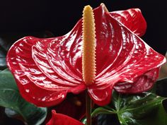 Anthurium andraeanum, by Jesús 56, via Flickr