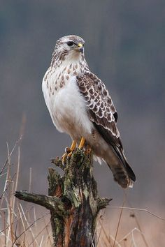 Red-tail hawk- I see one almost everyday on my way to work.  He sits in a different tree on the same stretch of road.