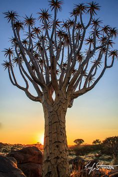 Quiver Tree Forest at Sunset, Namibia