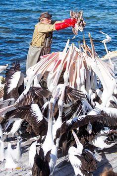 Pelican feeding on Kangaroo Island in South Australia is quite amazing!