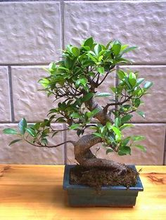 Ficus Microcarpa is a tree species which may grow into 20+ meters tall trees. Alternative names are Ficus Retusa, Ginsen ficus, Chinese Banyan, Malayan Banyan, Tigerbark Fig, Indian Laurel, Curtain...