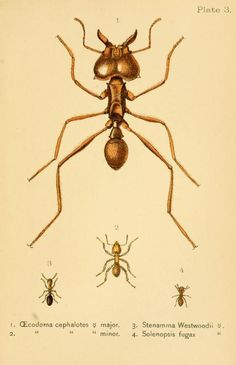 Ants, from The International Scientific Series (Ants, Bees & Wasps), by Sir John Lubbock, 1897.