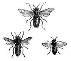 Free Vintage Clip Art Image ~ Queen Bee, Working Bee, and Drone Bee