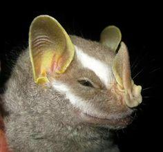 Brown bellied broad nosed bat