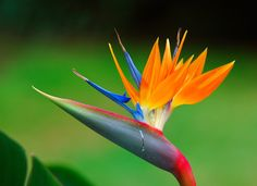 I am planting ten of these! Bird of paradise flower.