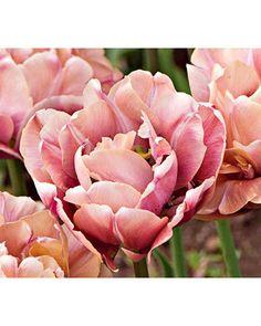 Tulip Champagne Diamond...