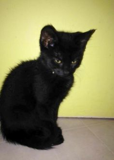 Meet Boo Boo, a Petfinder adoptable Domestic Short Hair-black Cat   Templeton, MA   Boo-Boo is a 8 week old all black male kitty. He has a great personality! Loves to play and snuggle...