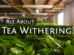 Withering, wilting, whatever it is let's talk about it. In which I explore tea withering: what it does, the types of wither, & how to control them.
