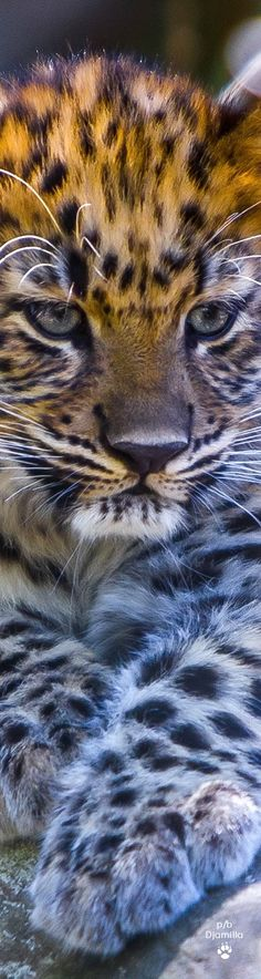 7b68070d56 52 best LARGE WILD CATS images on Pinterest