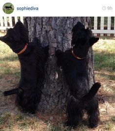 Scottie Mom: Scottish Terriers of Instagram: Week 4 what's up there? Maybe a squirrel? I'm willing to bet those Scotties are trying to figure out how to climb that tree - they have no lack of confidence!