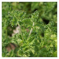 Hortelã-crispada: Mentha spicata crispum | Cantinho das Aromáticas