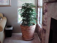 12 Beautiful Indoor Trees That Will Brighten Up Any Room - homeyou Inside Plants, All Plants, Types Of Plants, Indoor Trees, Indoor Plants, Norfolk Pine, Living Room Plants, Lush Green