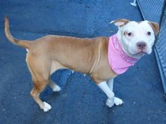 SAFE 1/2/15 --- Manhattan Center   HERSHEY - A1018629  *** DOH HOLD AFTER BEING BIT BY ANOTHER DOG AT THE SHELTER 12/13/14 *** AVERAGE HOME ***  FEMALE, BROWN / WHITE, PIT BULL MIX, 3 yrs STRAY - STRAY WAIT, NO HOLD Reason STRAY  Intake condition EXAM REQ Intake Date 10/25/2014,  https://www.facebook.com/photo.php?fbid=921626861183527