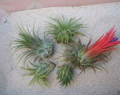5 Pack Assorted Ionantha Air Plants