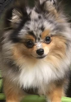 Marvelous Pomeranian Does Your Dog Measure Up and Does It Matter Characteristics. All About Pomeranian Does Your Dog Measure Up and Does It Matter Characteristics. Cute Puppies, Cute Dogs, Dogs And Puppies, Cute Baby Animals, Animals And Pets, Cute Pomeranian, Blue Merle Pomeranian, Cavalier King Charles Spaniel, Pom Dog