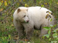 """The Kermode bear also known as a """"spirit bear"""", is a subspecies of the North American black bear found only on the north coast of British Columbia, Canada. Unlike other albino animals, the Kermode bear's white coat has been noted to help with its survival skills. Scientists have found that normal black bears are not as effective at catching fish as white bears, as the white bears are less visible from the perspective of the fish. ."""