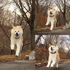 パティ❣️飛んでる❣️飛行犬*\(^o^)/* #akita #akitainu #akitaclub #akitainus #akitalove #akitadog #Japanesedog #japaneseakita #japaneseakitainu #japaneseakitadog #和犬 #秋田犬 #dog #犬 #大型犬 #日本犬 #cute #love #秋田犬パティ