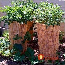 Pestovateľ poradil geniálny tip, ako vypestovať 50 kg zemiakov na menej ako 1 m²!