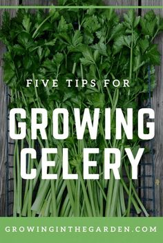 Five Tips For Growing Celery | Growing In The Garden #gardening #gardeningtips #celery