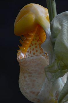 Bucket Orchid - Coryanthes macrantha