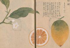 檸檬(レモン) ミカン科 Citrus limon  (Lemon)   本草図譜 岩崎 灌園 Honzo-Zufu, KanEn Iwasaki (1830)