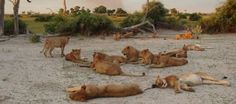 Cats in the Savuti Region Safari, Wildlife, African, Tours, Pets, Animals, Animales, Animaux, Animal