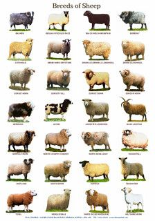 Breeds of Cattle,Sheep and Pigs printed on A4 160g paper and laminated. size 8.5 x 12 inches. 21.5 x 30.5 cm