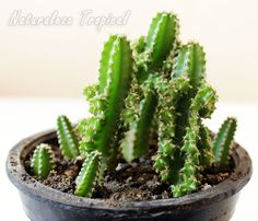 Vista del cactus conocido como Castillo de Hadas en maceta, Acanthocereus tetragonus fairy castle