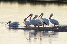 White Pelicans: Ding Darling National Wildlife Refuge