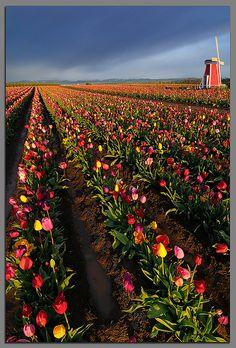 Wooden Shoe Tulip farm in Woodburn Oregon