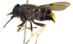 I despise flies of all kinds, but the blood suckers are the worst. You could hit a horse-fly with a hammer and it would shake it's head, laugh at you and fly away, only to return in 30 seconds to torment you.