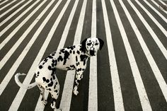 dalmatian #dalmatian #dogs #animals #spots #dalmatians https://www.facebook.com/pages/Dalmatians/221192661317562