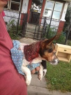 Update 9/13/13: A $1,000 reward is now being offered for information leading to the arrest and conviction of the person(s) responsible for this crime. Patty is currently in serious, but stable condition, at an emergency veterinary clinic. a critically injured dog was discovered in Detroit, Mich., near the 2800 block of Woodmere Street across from Patton Park, on Thursday afternoon is suffering from a stab wound to her side, and a large section of her skin has been carved from her body.