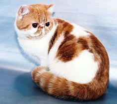 My new favorite breed of cat... Exotic shorthairs :)