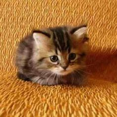 """Cute Cat Pictures on Twitter: """"I really wanna bring home this tiny cutie!"""