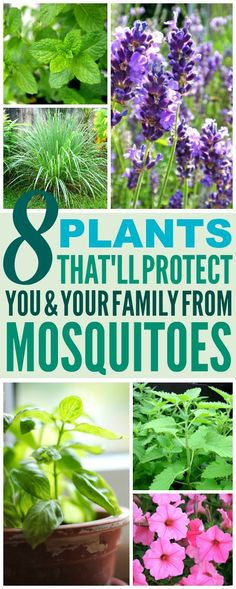 These 8 Amazing Mosquito Repelling Plants are THE BEST! I'm so glad I found these GREAT plant ideas! Now I have a great way to keep myself from getting bitten from mosquitoes! Definitely pinning!