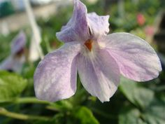 Perky Violet.     A good, long stemmed blush lilac large scented bloom. Vigorous and good for cutting.