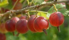 Angrešt je vděčné ovocev s širokým uplatněním v kuchyni. Dobře však plodí pouze keře a stromky udržované pravidelným řezem, který je nutno provádět především v prvních letech po výsadbě.