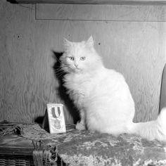 Baby the seeing-eye cat poses with the medal of honor he received for service provided to his human, 1947. (Loran F. Smith—The LIFE Picture Collection)
