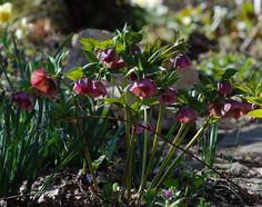 a garden diary: Helleborus orientalis