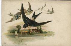 Raphael Tuck & Fils Postcard - Swifts, Swallows - Serie 2 6