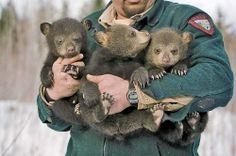 Maine's Black Bears Animals For Kids, Animals And Pets, Baby Animals, Cute Animals, Wild Animals, Black Bear, Brown Bear, Bear Cubs, Baby Bears