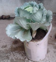 Tanaman tampak dari samping Cabbage, Food And Drink, Fruit, Vegetables, Garden, Plants, Farming, Tips, Garten