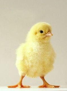 1150DA4E4FBC35E01FE33C (610×830) Cute Chickens, Baby Chickens, Chickens And Roosters, Chickens Backyard, Cute Baby Animals, Farm Animals, Funny Animals, Funny Birds, Cute Birds