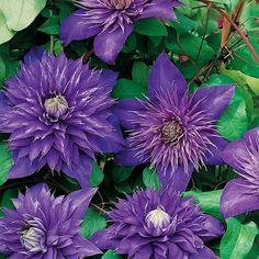 Loistokärhö Multi Blue - Viherpeukalot Clematis, Spring, Yard, Flowers, Garden, Vines, Cottage Garden, Perennials, Plants