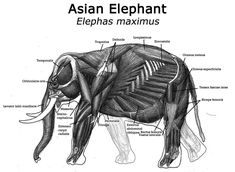 Elephant Anatomy, Elephant Face, Asian Elephant, Animal Anatomy, Felt Animals, Cute Baby Animals, Animals And Pets, Biceps, Wildlife Photography
