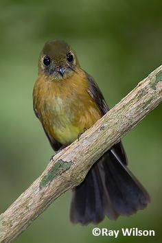 Sulphur-rumped Flycatcher (Myiobius sulphureipygius)