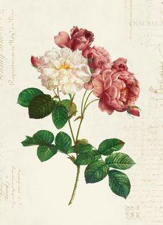 Vintage Botanical Floral on French Ephemera Print, Vintage Rose Print Vintage Rosen, Etsy Vintage, Antique Illustration, Botanical Illustration, Vintage Floral, Vintage Flowers, Botanical Prints, Floral Prints, Articles Vintage